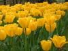 Tulip3316