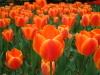 Tulip3329