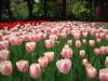 Tulip3330