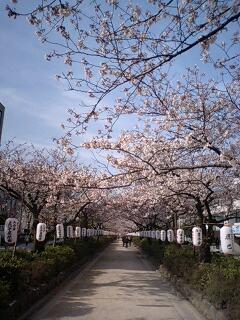 鎌倉、鶴岡八幡宮の桜(4月3日朝8時頃)