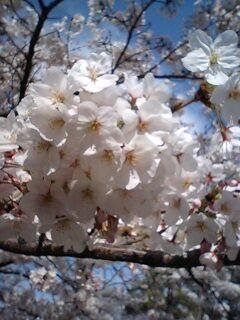 反町公園、桜満開(4月4日15時頃)